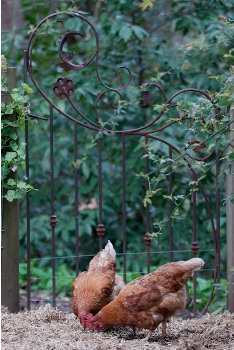 Whimsical wrought iron gates dress up a chicken coop and vegetable garden. Rusty garden gates are low maintenance and popular with gardeners