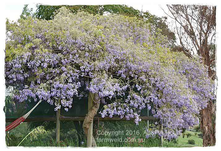 Large wisteria support